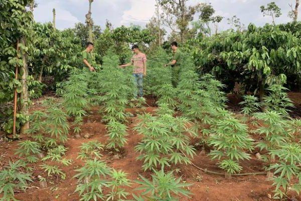 Đắk Lắk: Phát hiện 2 anh em trồng hàng trăm cây cần sa trong rẫy cà phê