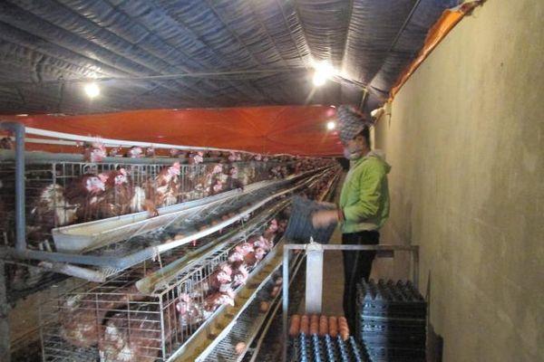 Liên kết nuôi gà siêu trứng