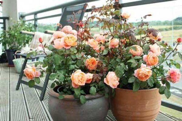 Học cách giâm cành hồng trong nước dễ làm, ai 'nghiện' trồng hoa hồng không thể bỏ qua