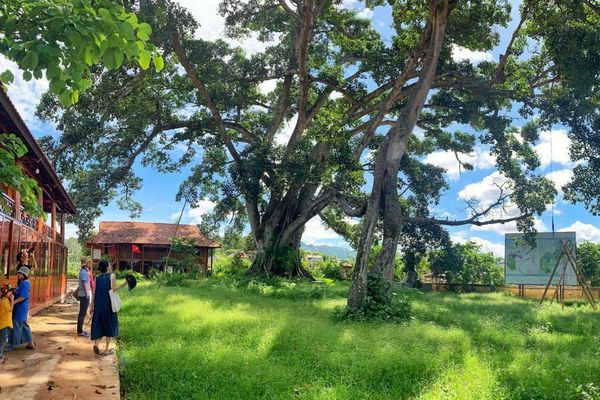 Lạ lùng cây đa khổng lồ hai thân của người Thái ở Sơn La