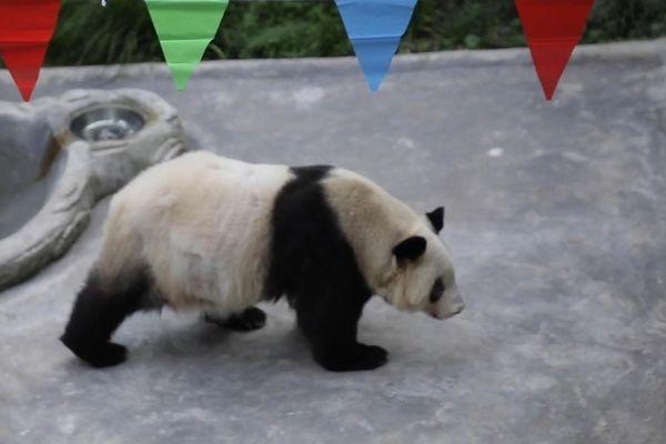 Gấu trúc già nhất thế giới đón sinh nhật thứ 38