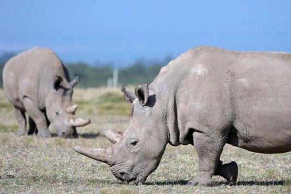 Hồi sinh tê giác quý hiếm khi chỉ còn 2 con cái