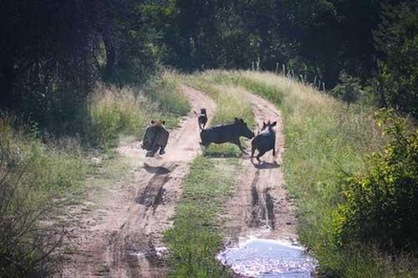 Lợn rừng chơi bài bất ngờ, báo ngậm ngùi 'ôm trái đắng'