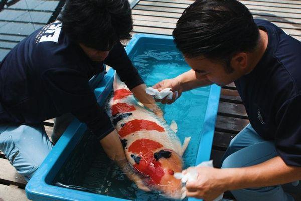 Trang trại cá Koi trị giá triệu USD ở Nhật
