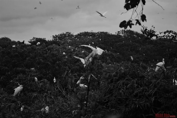 Vườn cò Bằng Lăng - sân chim lớn nhất đồng bằng sông Cửu Long