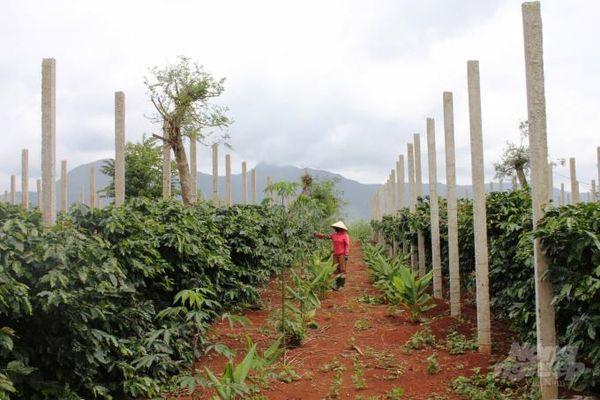Đánh thức nông sản miền Tây Quảng Trị: (Bài 3): Hồ tiêu Hướng Hóa