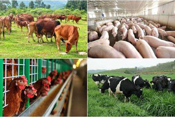Phát triển ngành chăn nuôi phải đảm bảo năng suất, chất lượng gắn với bảo vệ môi trường