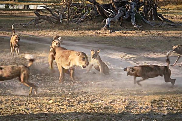 Bảo vệ con nhỏ, sư tử mẹ liều mình chiến đấu với đàn chó hoang hơn chục con