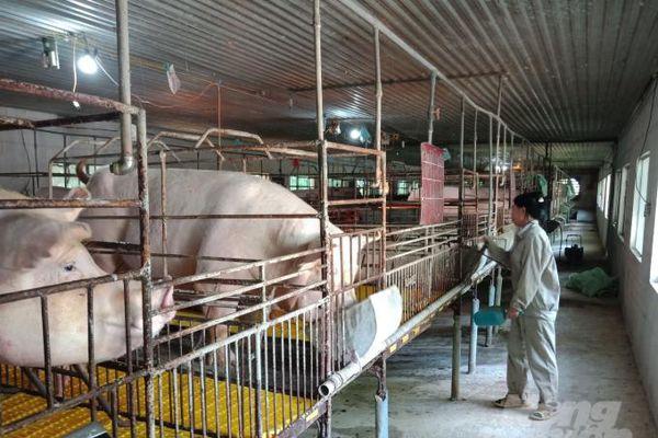 Phát triển liên kết chăn nuôi theo chuỗi