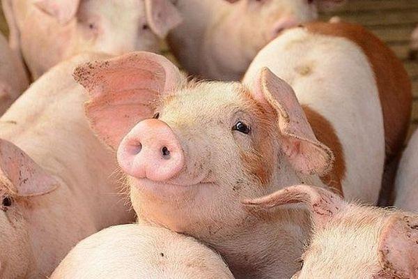 Giá lợn hơi hôm nay 17/9: Tăng nhẹ tại một số địa phương, và dao động trong khoảng từ 78.000 - 83.000 đồng/kg