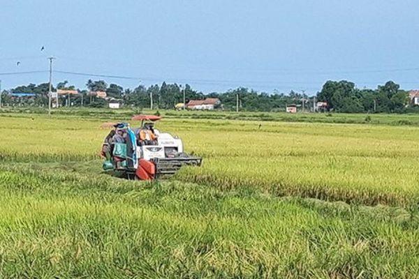 Phú Yên: Nông dân tranh thủ thu hoạch lúa vì sợ mưa bão