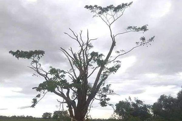 Sửng sốt hình ảnh cây ngô đồng trong phim Mắt Biếc sau bão số 5