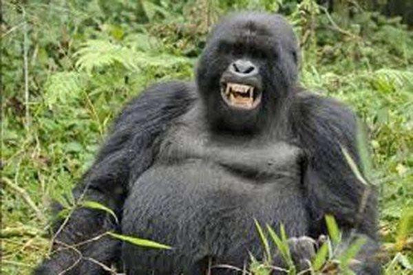 'Rợn người' loài khỉ đột hoang dã cũng có thể ăn thịt sống