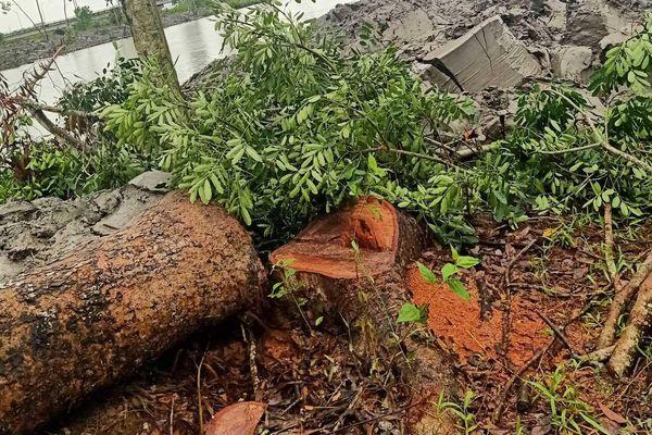 Cà Mau: Hoãn phiên xét xử dân kiện Chủ tịch huyện vì 1 cây xà cừ