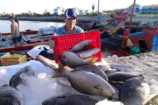 Ngư dân Lý Sơn vượt khó vươn khơi, bám biển