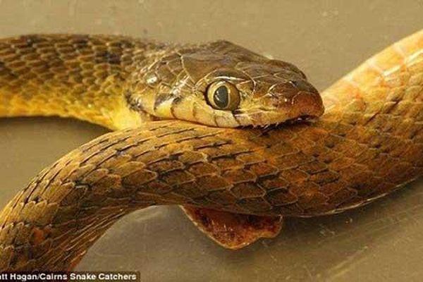 Bí ẩn lớn nhất của loài rắn 'ăn đuôi tự sát' đã có lời giải