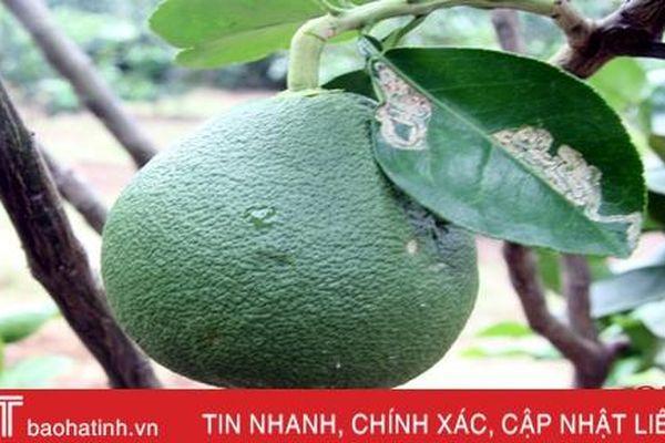 Bưởi da xanh 'bén duyên' vùng núi Hương Sơn