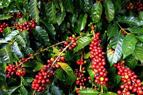 Giá cà phê hôm nay 17/10: Tăng liên tiếp 3 ngày, giá cà phê Tây Nguyên vượt mốc 32 triệu/tấn