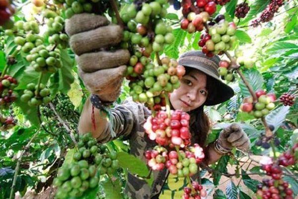Giá cà phê hôm nay 18/10: Tăng 200 - 300 đồng/kg so với đầu tuần, kỳ vọng Robusta London vượt mốc 1.300 USD/tấn