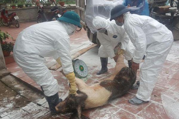 Thái Bình: Dịch tả lợn châu Phi tái phát