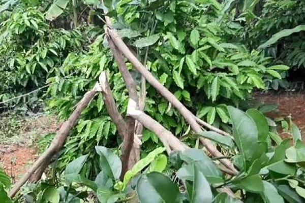 Đắk Lắk : Một gia đình bị kẻ gian chặt phá hơn 200 cây trồng