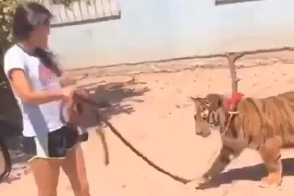 Cô gái dắt hổ Bengal quý hiếm như dắt chó đi dạo trên phố