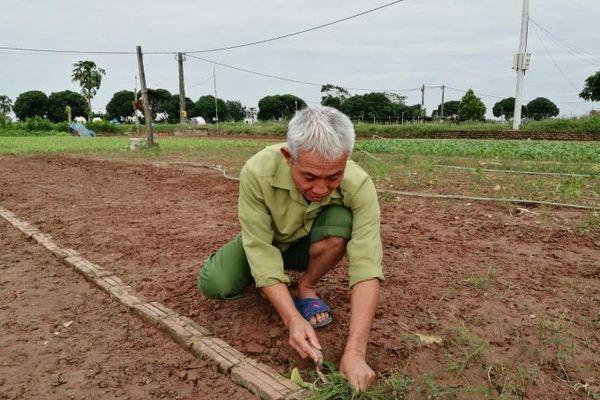 Hà Nội: Kênh mương bị bồi lấp gây thiệt hại rau màu vì ngập úng