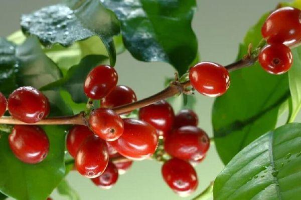 Giá cà phê hôm nay 27/10: Bật tăng nhẹ, nông dân đang gấp rút thu hoạch vụ mới