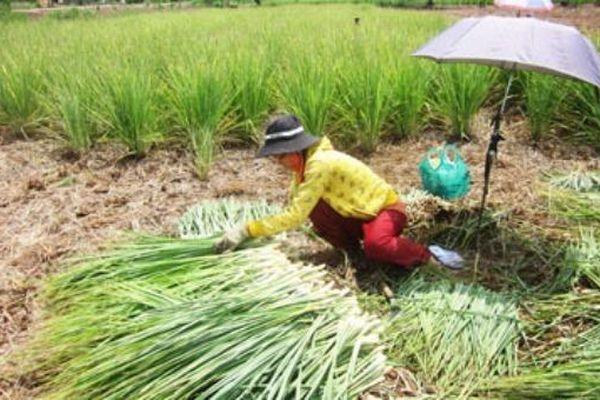 Nông dân Tiền Giang làm giàu nhờ chuyển đổi cơ cấu cây trồng ứng phó hạn mặn
