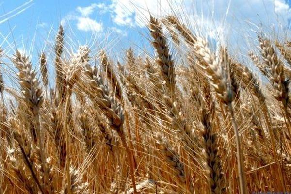 Ukraine xuất khẩu hơn 10 triệu tấn lúa mì, giảm so với cùng kỳ năm ngoái