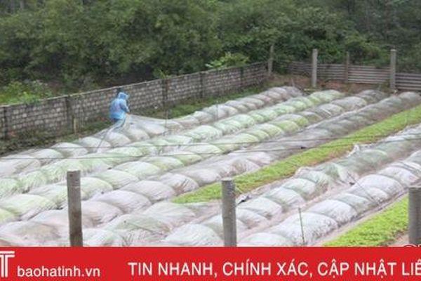 Canh vườn, phủ ni lông, làng rau nổi tiếng Hà Tĩnh giữ vườn ươm giống trong mưa lớn