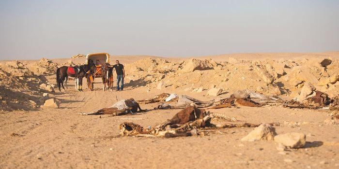 Số phận bi thảm của lạc đà ở Ai Cập: Chở khách 20h/ngày, già chết bị xẻ thịt. 9