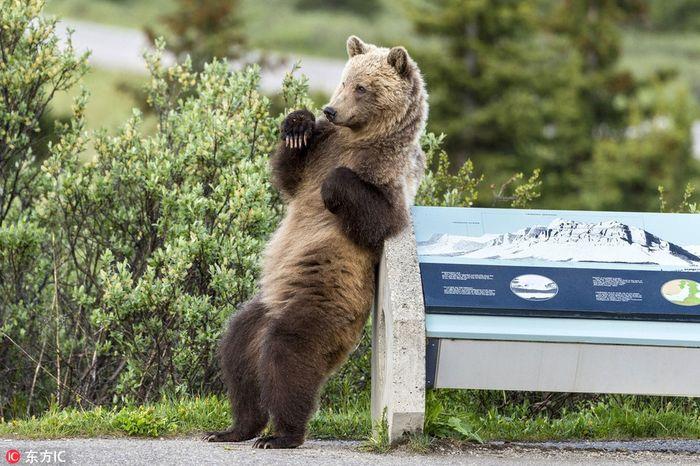 ... Hoang Dã Ghi Được Những Hình Ảnh Thú Vị Và Hài Hước Về Một Con Gấu Nâu  Hoang Dã Khi Nó Đang Có Những Động Tác Giống Như Nhảy Múa Gợi Cảm.