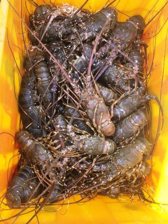 Tôm hùm chết la liệt trên vịnh Cam Ranh