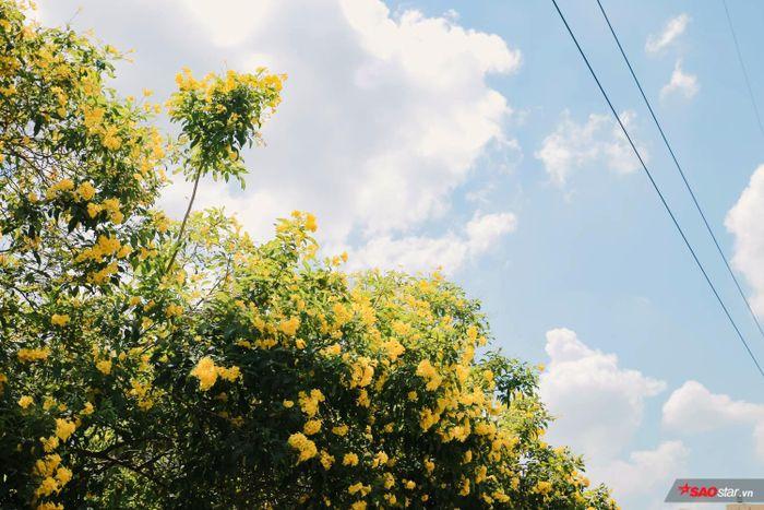 Hoa chuông vàng nảy nở 4-5 mùa hoa trong năm khiến đường ray tàu Sài Gòn chẳng khi nào hết vàng, hết tươi mát.