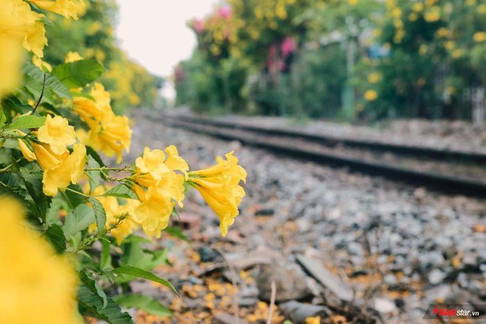 Chuông vàng sẽ trở thành kỷ niệm, biểu trưng cho mùa hoa mới ở thành phố này.