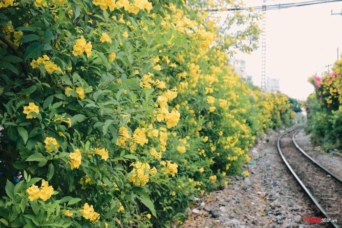 Bông nở thành từng chùm, dày và đều nên khiến cả đoạn đường Lê Văn Sỹ như khu rừng vàng.