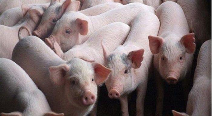 Báo Đời Sống Plus: Giá heo (lợn) hơi hôm nay 30/3: Tăng nhẹ ở nhiều nơi