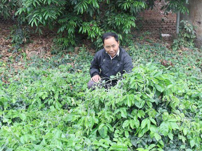 Báo Dân Việt: Bắc Giang: Có loài sâm quý được ví như sâm 'tiên', giá 2 triệu/kg