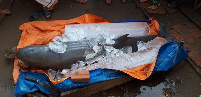 Cá nược tìm thấy ở Cổ Chiên là cá cái, đã già, răng rụng hết