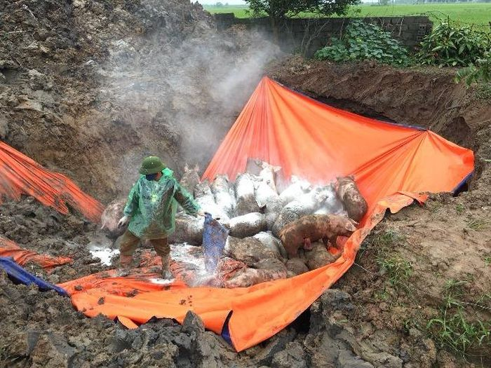 Ninh Bình: Tiêu hủy 318 tấn lợn nhiễm dịch tả lợn Châu Phi