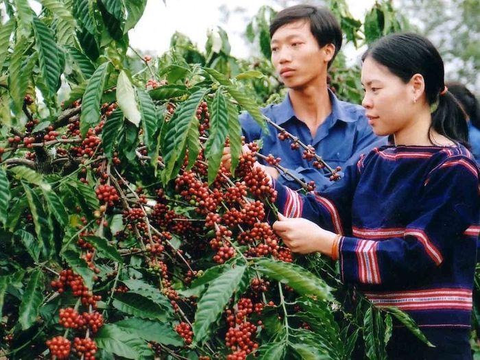 Báo TGTT: Giá cà phê ngày 30/5 tăng mạnh