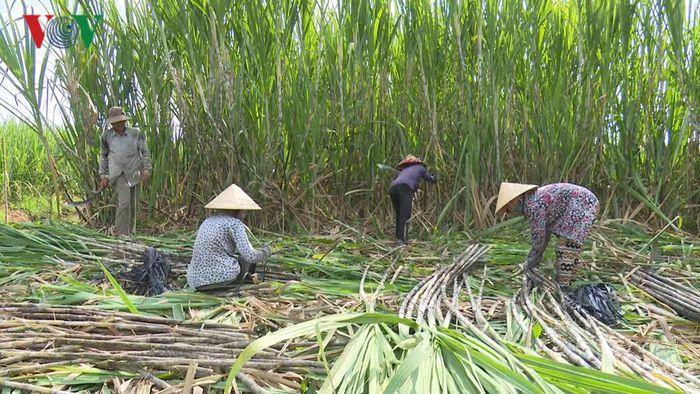Báo VOV: Vùng mía nguyên liệu giảm, nhà máy đường gặp khó.