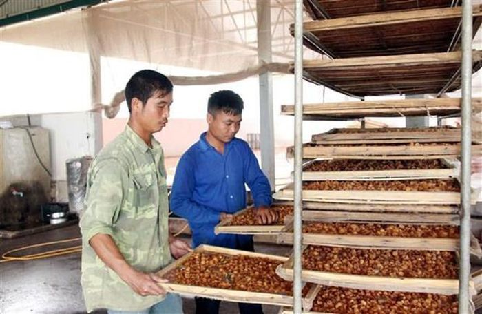 Hợp tác xã dịch vụ nông nghiệp Nhãn chín muộn Chiềng Mung sản xuất long nhãn. (Ảnh: Quang Quyết/TTXVN)