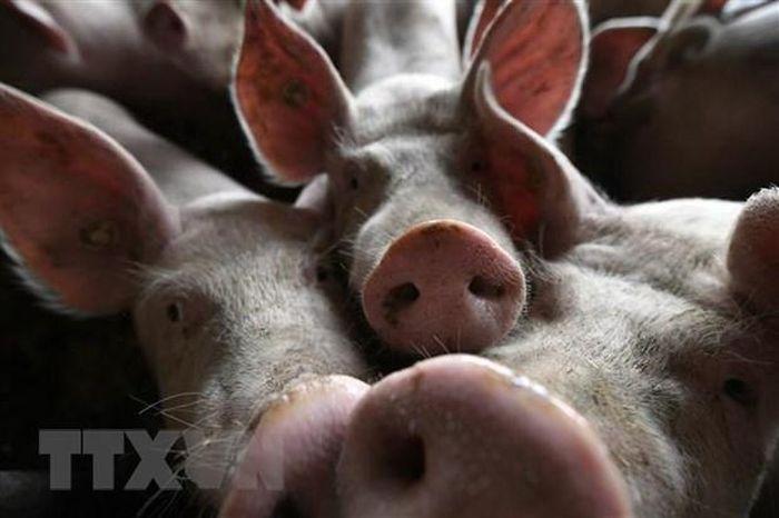 Nhật Bản quyết định tiêm vắcxin để ngăn dịch tả lợn lan rộng