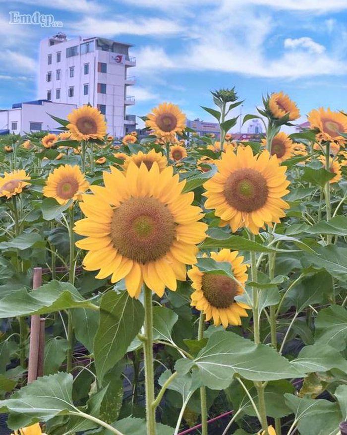 Những bông hoa hướng dương chỉ cao chừng 1m rất thích hợp để du khách đến chụp ảnh.