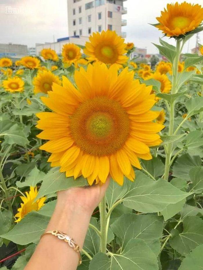 Những bông hoa hướng dương vàng rực, đang vào độ nở đẹp nhất