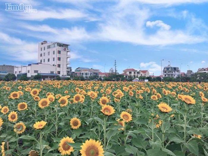Vườn hoa hướng dương ở trung tâm TP Hải Dương được khai trương từ ngày 12/10 mới đây