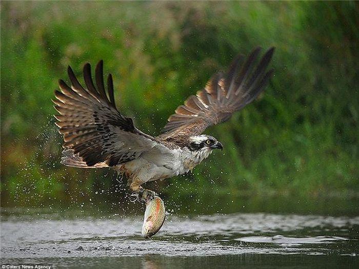 Sống động cảnh chim ưng biển săn cá hồi dưới sông