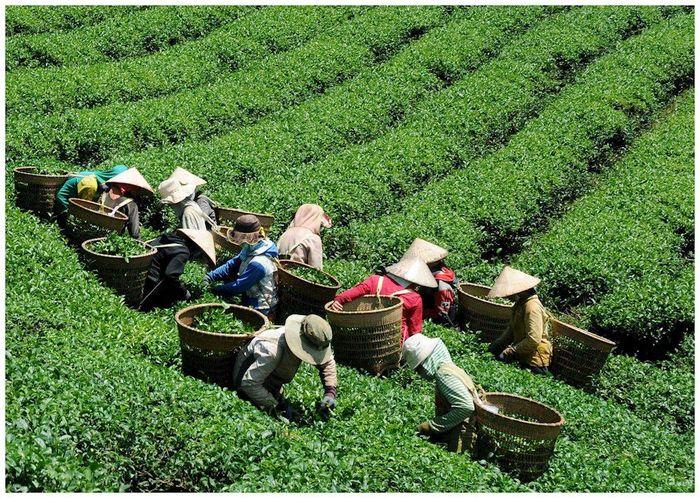 Thu hoạch chè ở Bảo Lâm Lâm Đồng